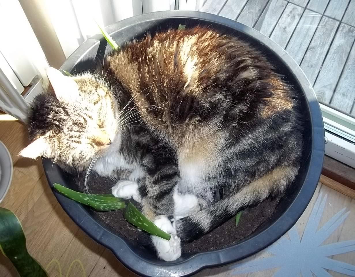 1. Jag och boendestödjaren fick oss ett gott skratt när vi upptäckte Kitty mitt bland mina aloe veror!.JPG