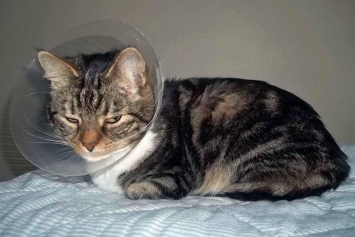 1. Kitty har fått besöka veterinären idag, kom hem med en krage pga såren under öronen.JPG